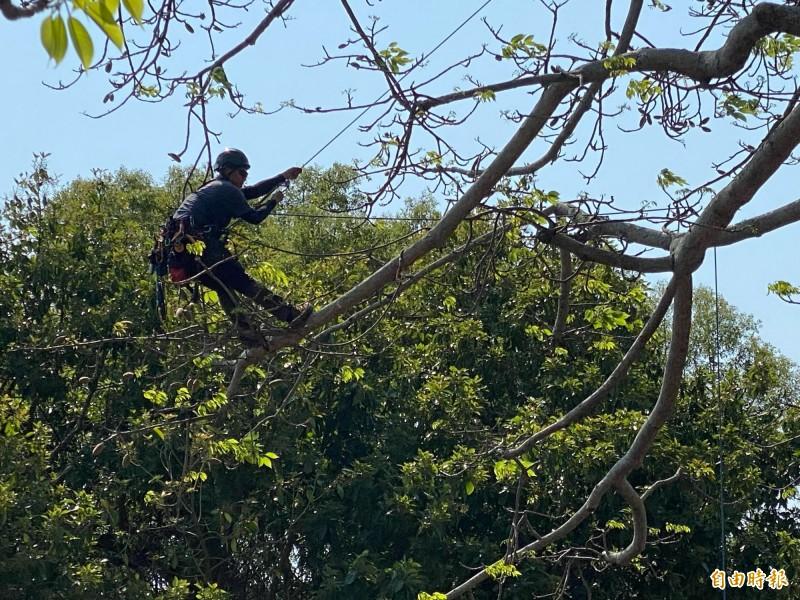 攀樹團隊全副武裝在木棉樹上緩緩行進。(記者吳正庭攝)