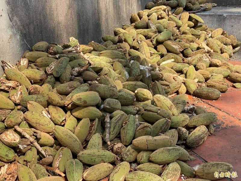 攀樹團隊在木棉樹上執行摘除果實任務的「戰果」。(記者吳正庭攝)