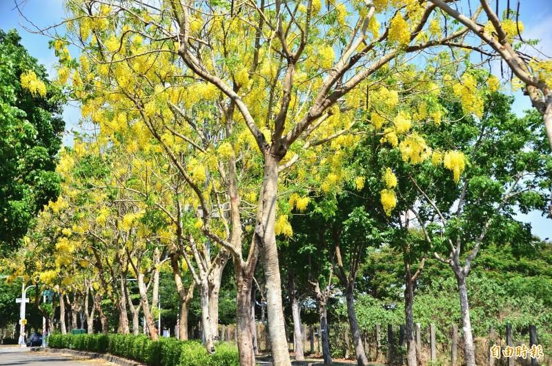 高鐵台南站區的阿勃勒,已逐漸開花,有些路段出現「黃金雨」美景。(記者吳俊鋒攝)
