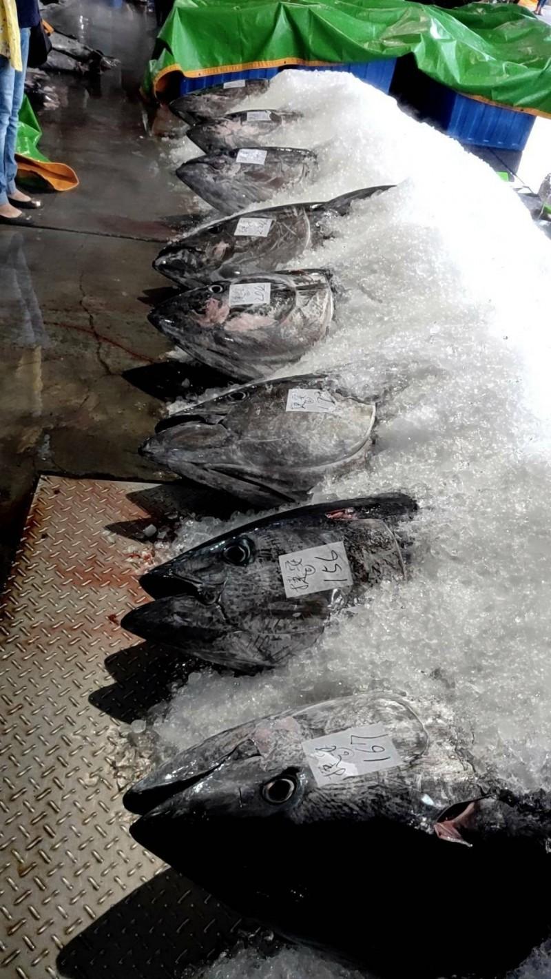鄭船長在海上與海豚爭黑鮪魚,結果有8完勝,帶回8隻完整魚體以碎冰保鮮拍賣。(阿春新鮮魚貨提供)