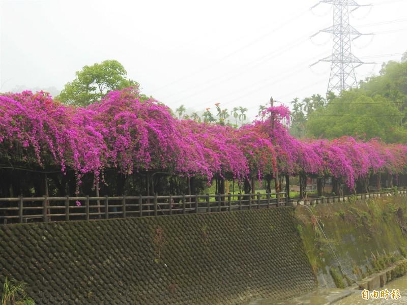 南投縣中寮鄉內城村月桃巷的樟平溪自行車道,有約200公尺的九重葛綠廊,最近花朵盛開,形成紫紅色花瀑。(記者佟振國攝)