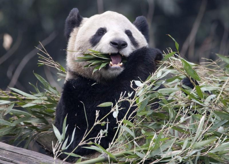 中國2013年時送給加拿大一公一母大貓熊大毛、二順,據稱原本預計出借10年,不過因疫情影響,竹子難以運輸取得,卡爾加里動物園昨宣布,將提前送回中國。(美聯社)