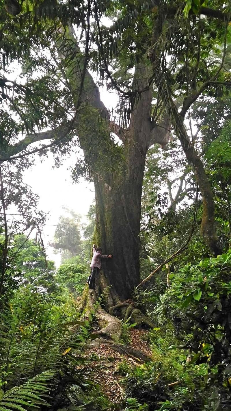 苗栗縣泰安鄉冬瓜山的這棵老櫸木高37公尺、胸徑2.2公尺、樹圍6.9公尺,十分雄偉。(戴文祥提供)