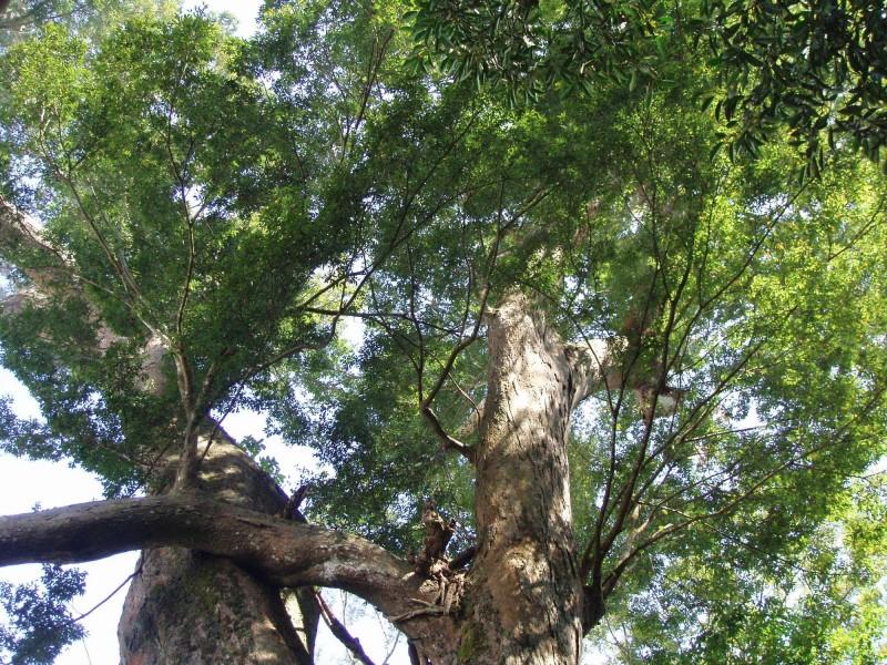 苗栗縣泰安鄉冬瓜山老櫸木過往春夏綠蔭蔽天的情景,如今只成回憶。(大湖工作站提供)