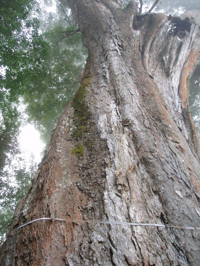 老櫸木在2015年受颱風襲擊,一側大枝樹幹被吹斷,此後幾年健康情形每況愈下。(大湖工作站提供)