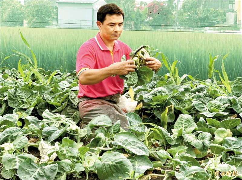 彰化市蔬菜產銷班第一班班長葉榮昌,昨天趁雨勢稍歇到和美鎮彰新路菜田搶收芥藍菜。(記者湯世名攝)