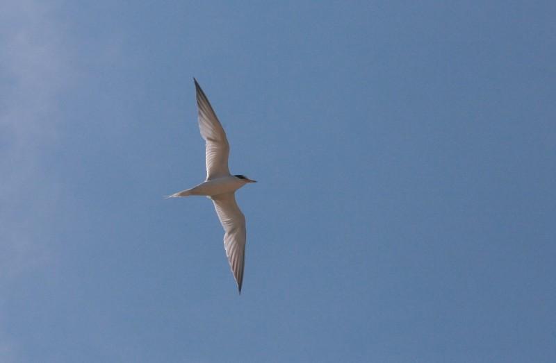 小燕鷗每年4月中旬到5月初會陸續飛抵台灣育雛。(吳豫州提供)