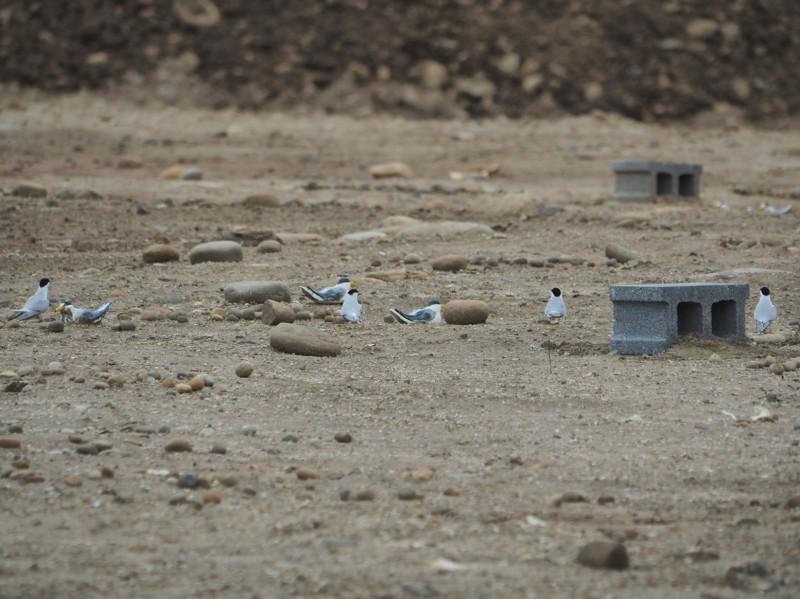 桃園市野鳥學會去年在竹圍及觀塘三接儲氣工地,布置假鳥及空心磚等庇護措施,成功吸引小燕鷗築巢。(吳豫州提供)