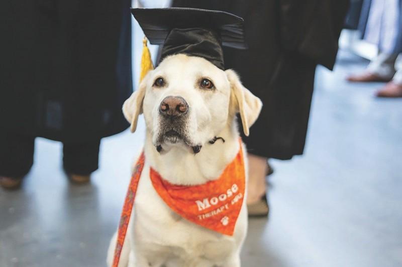 拉布拉多犬「穆思」曾協助進行7500次治療。(擷取自維吉尼亞理工大學官網)