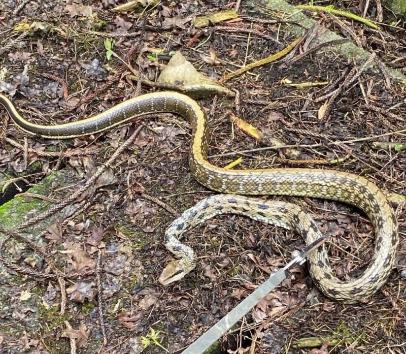時序進入蛇類出沒季節,溪頭自然教育園區設置的防蛇網1週捕獲3尾蛇。(記者張協昇翻攝)