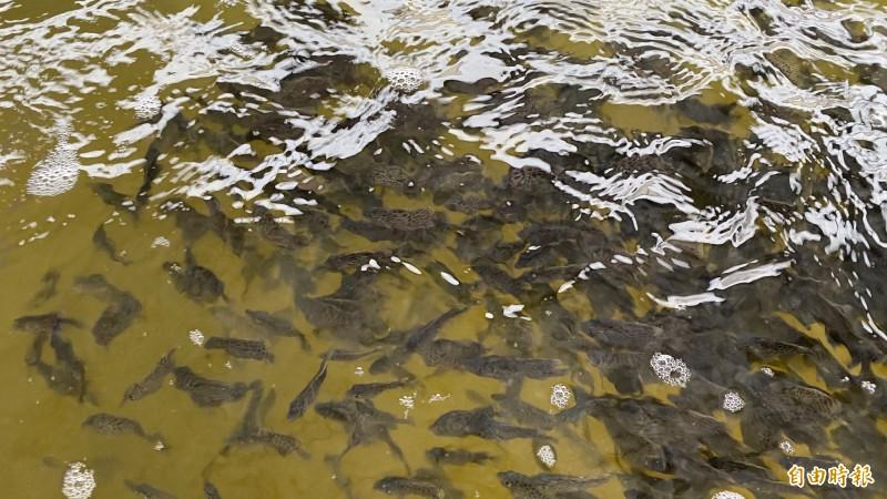 石鯛魚苗在養殖桶中試驗養殖。(記者楊金城攝)
