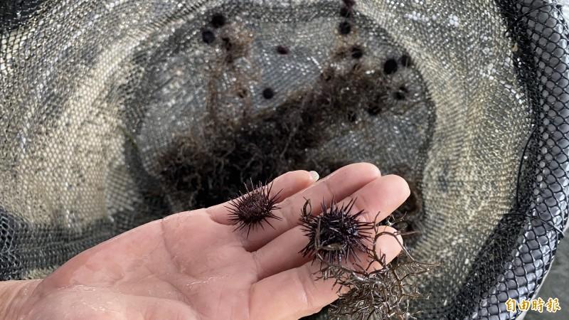小小的紫海膽幼苗很可愛。(記者楊金城攝)