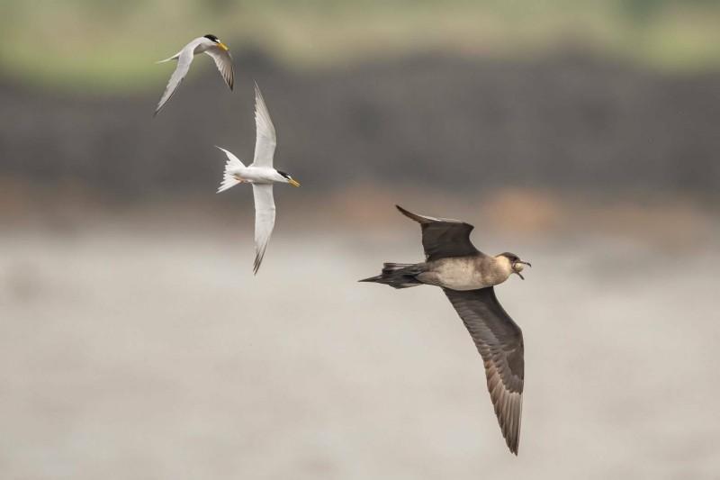 宜蘭縣蘭陽溪口出現短尾賊鷗(右下)頻頻偷蛋,小燕鷗(左上)「為母則強」強勢反擊。(圖由拍鳥俱樂部Frank提供)