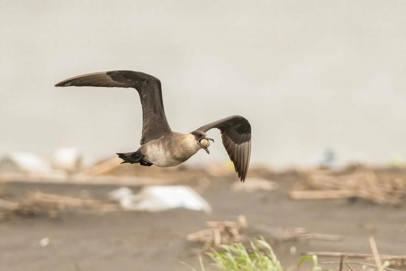 竊取小燕鷗蛋的短尾賊鷗,嘴喙夾蛋展翅逃跑。(圖由拍鳥俱樂部Frank提供)