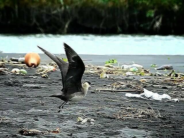 鳥友到蘭陽溪口拍攝短尾賊鷗,滿地垃圾一併入鏡。(圖由拍鳥俱樂部陳雅歌提供)