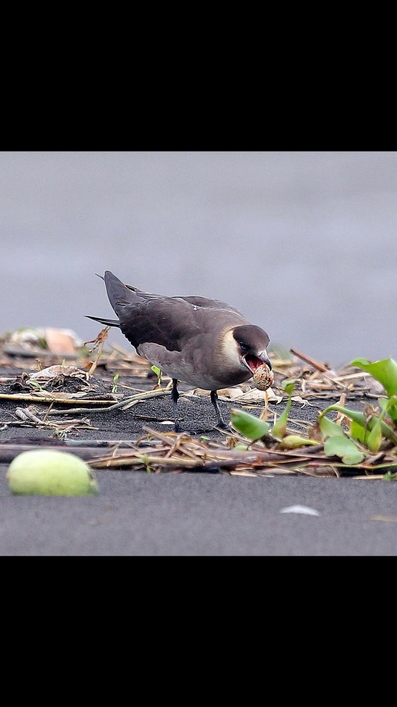 短尾賊鷗偷蛋時通常先下手為強,當場啄破鳥蛋飽餐一頓。(圖由拍鳥俱樂部陳進智提供)