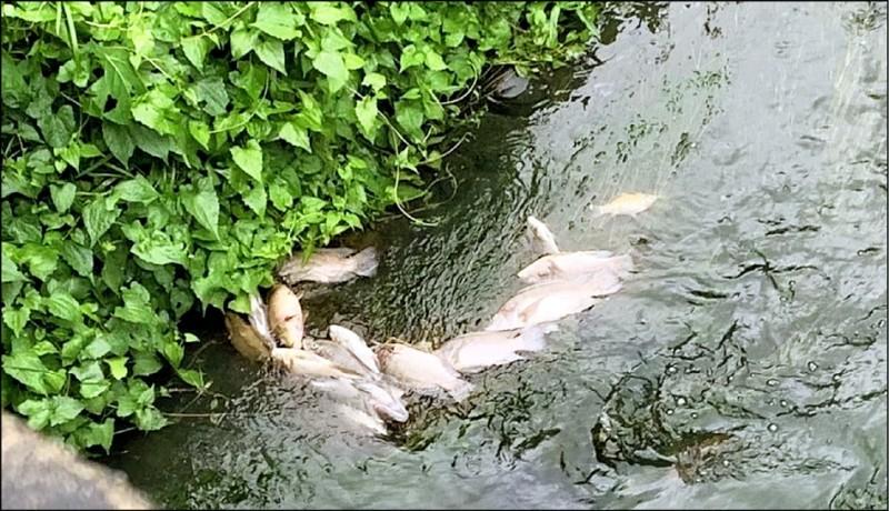 旱溪排水從19日開始出現大批魚屍,環保局清查後發現是台中農田水利會關閉水閘門,造成水量不足魚群擱淺暴斃。(記者陳建志翻攝)