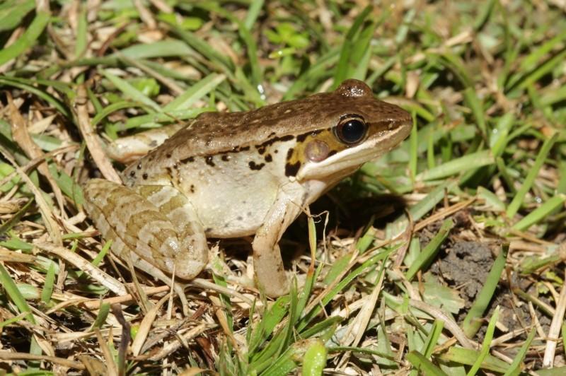 羅東鎮樹林里居民被不明「狗吠聲」吵到難以入眠,經調查才知是俗稱狗蛙的貢德式赤蛙(如圖)求偶聲擾人清夢。(圖由賴擁憲提供)