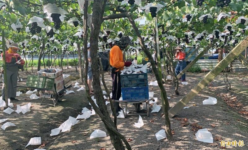 全台連日下起大雨,彰化縣正值巨峰葡萄產季,不少果農擔憂影響葡萄收成,忙著搶收。(記者陳冠備攝)