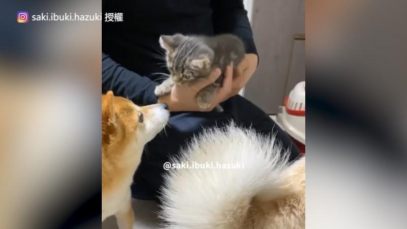 剛與三隻柴犬碰面時的貓Kiki還只是一隻幼貓。(圖片由Instagram帳號saki.ibuki.hazuki授權提供使用)