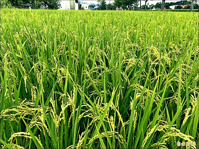 梅雨鋒面報到,台東縱谷地區稻農們喜憂參半。(記者陳賢義攝)