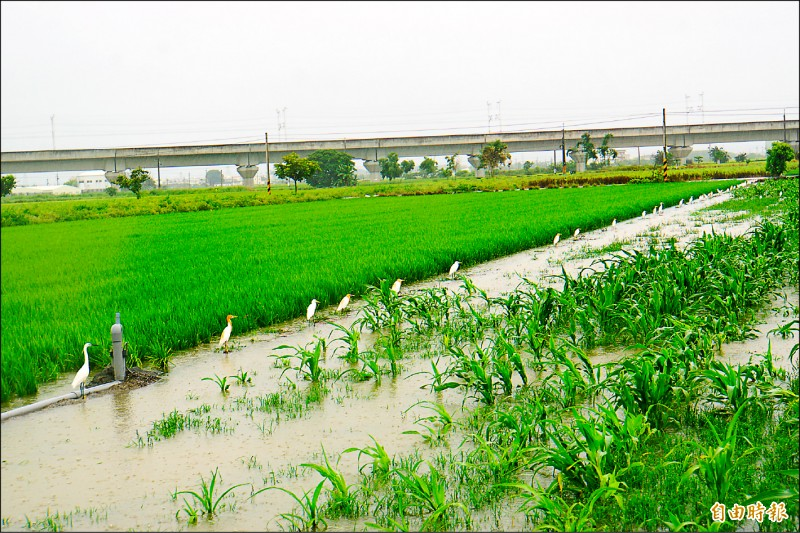 一整排鷺鷥站在被淹沒的田埂上,成為雨中奇觀。(記者詹士弘攝)