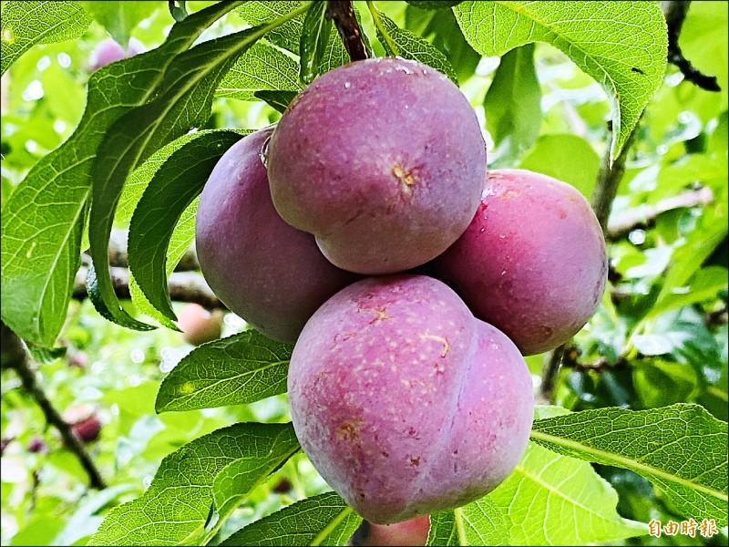 鮮採紅肉李有自然的果粉,品嚐正是時候。(記者蔡宗勳攝)