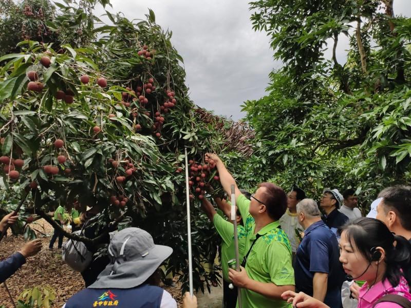 太平區農會指今年荔枝產量比去年多,將辦採果樂,民眾可邊採邊吃。(記者蘇金鳳翻攝)
