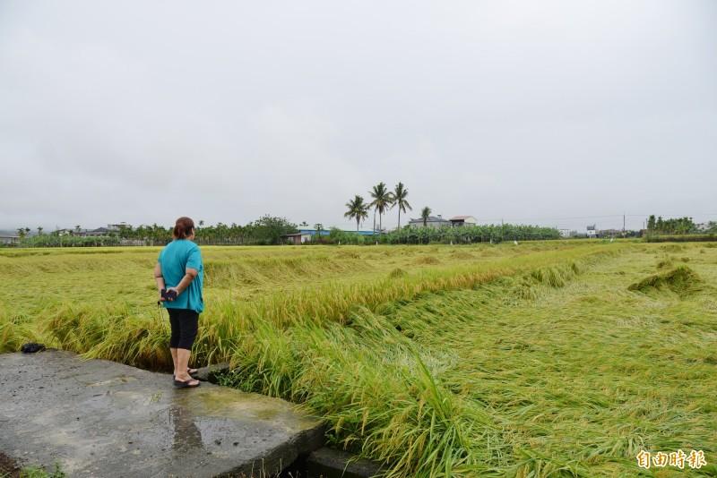 美濃稻農看著被大雨襲擊後,倒成一片的稻穗,直言欲哭無淚。(記者許麗娟攝)