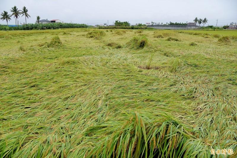 美濃稻田大面積伏倒。(記者許麗娟攝)