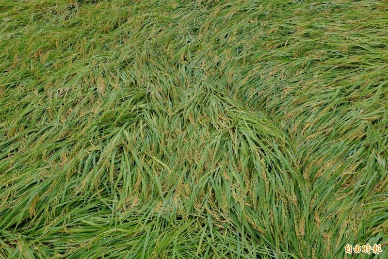 因田裡積水,倒地的稻穗不趕緊收割,很快就會發芽。(記者許麗娟攝)