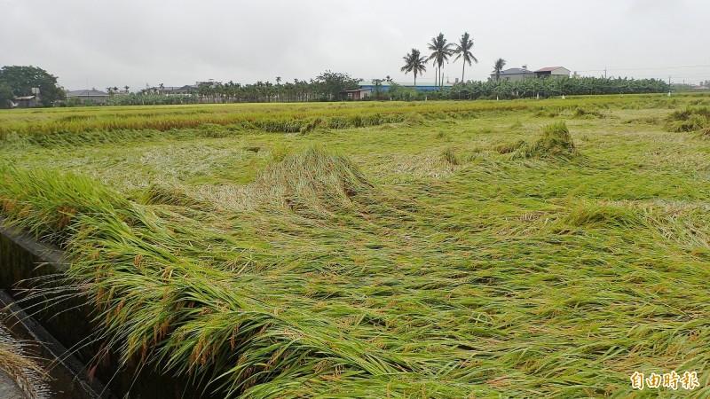 稻田不敵豪雨,倒成一片。(記者許麗娟攝)