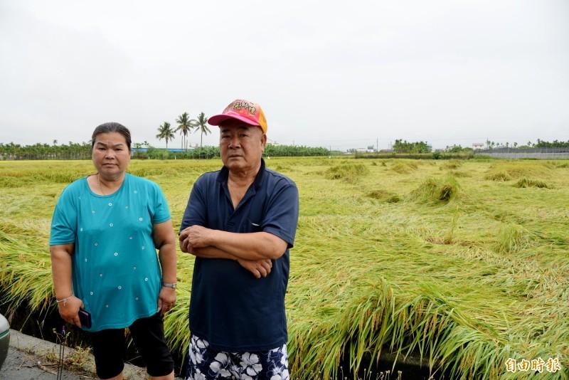 稻農湛桂澄(右)與妻子希望政府可協助盡早收割,以免稻米發芽,心血全毀。(記者許麗娟攝)