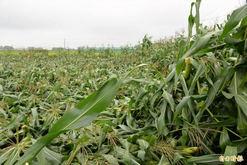 虎尾地區玉米倒伏嚴重。(記者林國賢攝)
