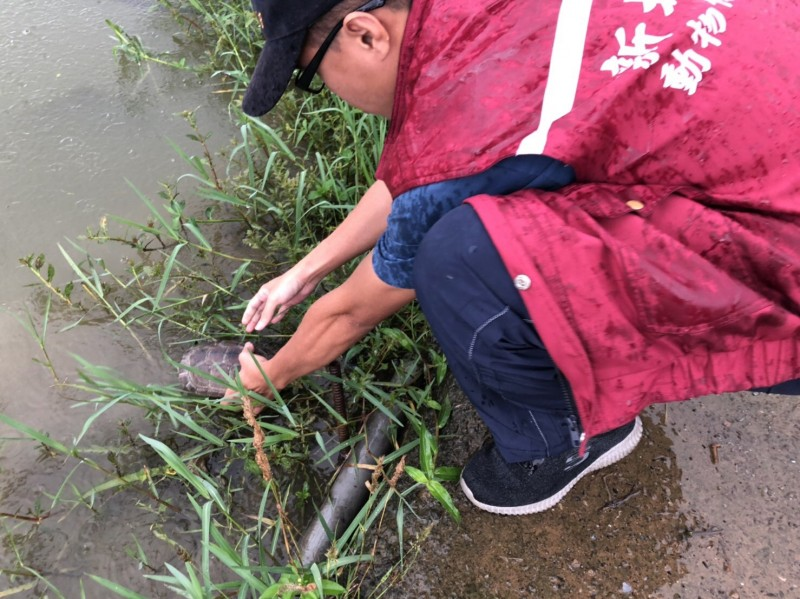 動保處將柴棺龜送往貢寮區合適地放生。(新北市政府動保處提供)