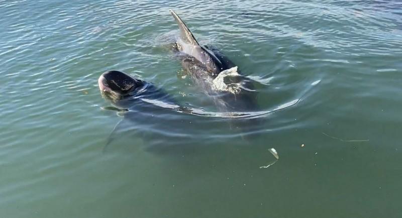 滯留高雄港的小虎鯨,已有1隻死亡。(記者洪定宏翻攝)