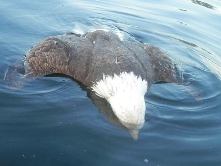 美國緬因州一隻白頭海鵰在捕食小潛鳥時遭到潛鳥母鳥反擊,心臟被戳中後浮屍水面。(圖擷自Maine Department of Inland Fisheries & Wildlife官網)