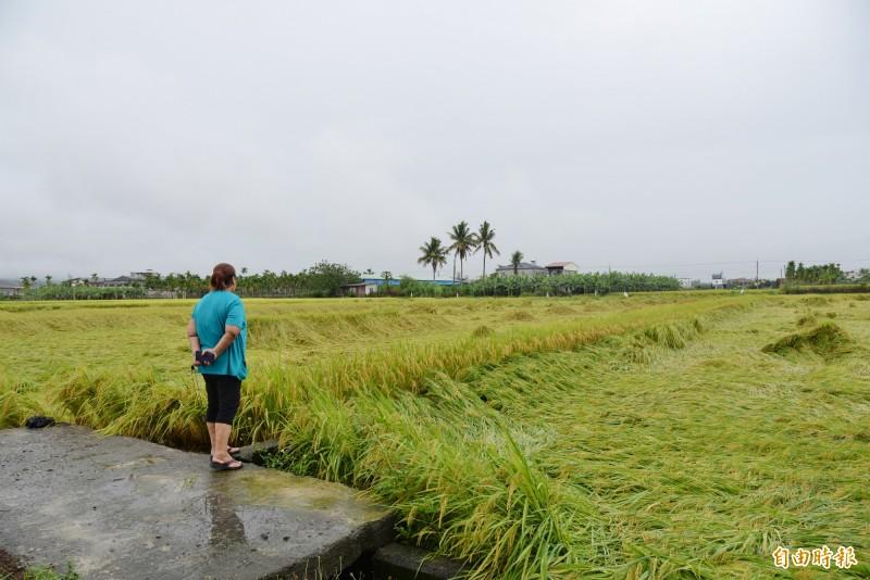 農糧署統計,大雨造成農損,屏東縣損失最多,農產則一期水稻受創最嚴重。圖為美濃水稻倒伏。(記者許麗娟攝)