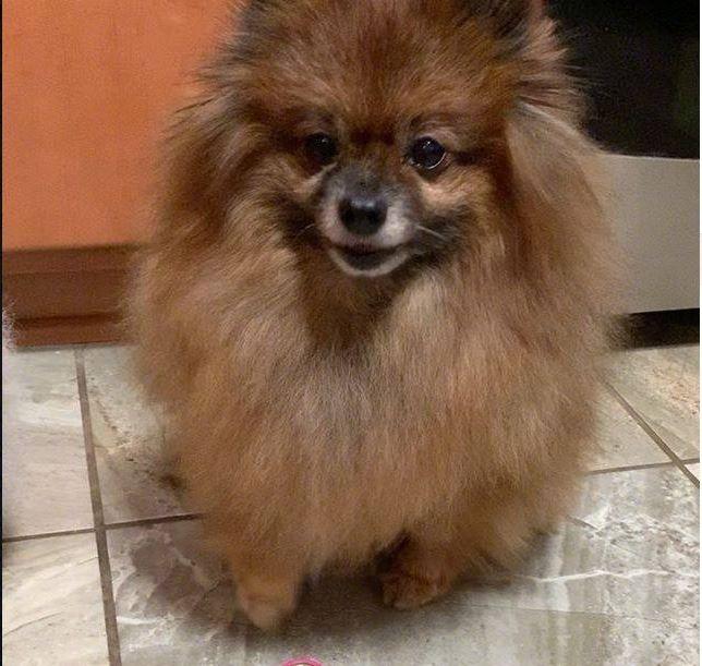 毛茸茸的博美犬用水汪汪的眼睛看著鏡頭。(圖擷自爆廢公社公開版)