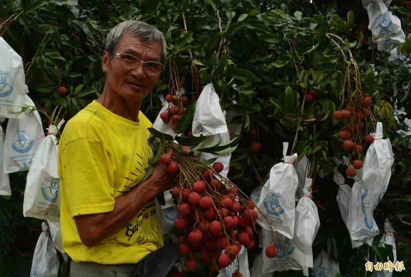 大里果農曾逸松種植的早熟「旺荔」荔枝已經上市,因產期比玉荷包還早,每台斤可賣到100元。(記者陳建志攝)