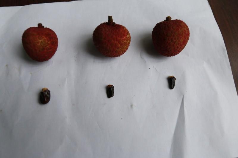 大里農會推廣種植的早熟種「旺荔」荔枝,果實外觀鮮紅、果核小。果核小,(記者陳建志翻攝)