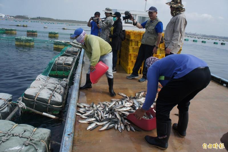 澎湖養殖業主要是餵食小魚,不能以人工飼料為主。(記者劉禹慶攝)
