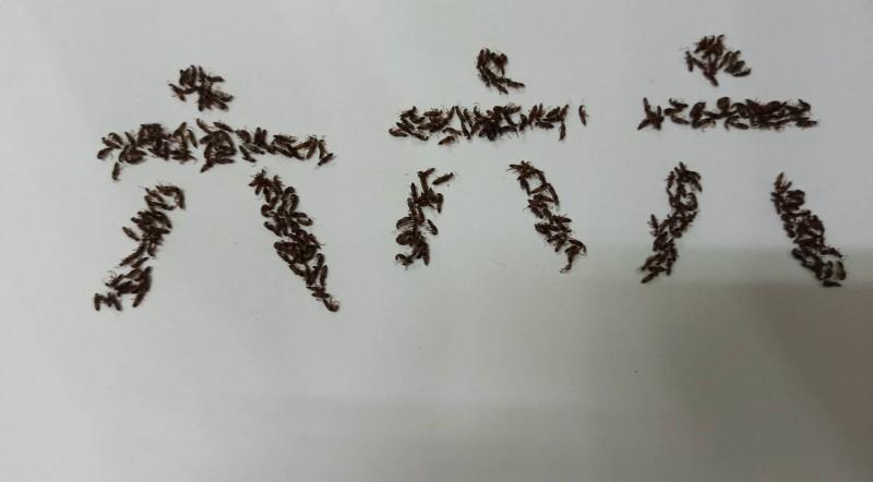 高雄市民在自宅殺死超過500隻隱翅蟲,將遺體排成「六六六」罷韓密碼。(鄭春杰提供)