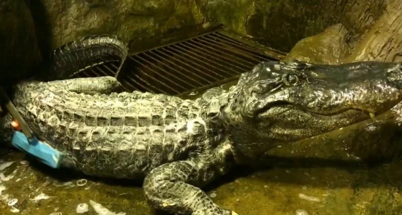 在二戰德國柏林大轟炸中倖存的鱷魚薩圖恩(Saturn),以84歲的高齡在莫斯科動物園逝世,牠可能是世界上最長壽的鱷魚。(圖擷自莫斯科動物園推特)