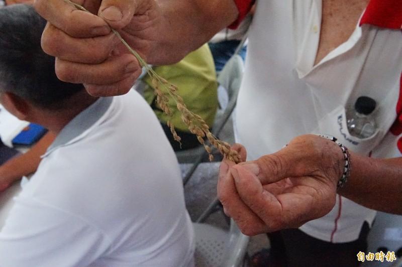 農民搶下稻穗,卻發現已泡水泡到「出芽」。(記者陳彥廷攝)