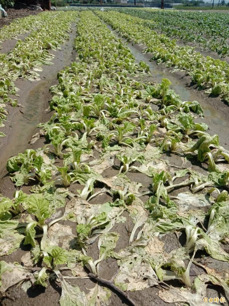 受「黃蜂」颱風、梅雨鋒面等影響,高雄梓官蔬菜專區葉菜類受損。(記者陳文嬋攝)