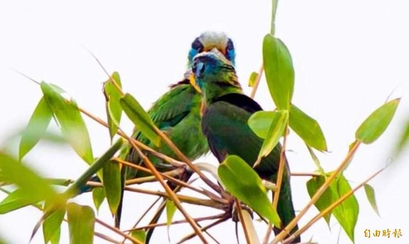 俗稱「花和尚」的雌雄五色鳥在林間嘴對嘴「熱吻」情景。(記者謝介裕攝)