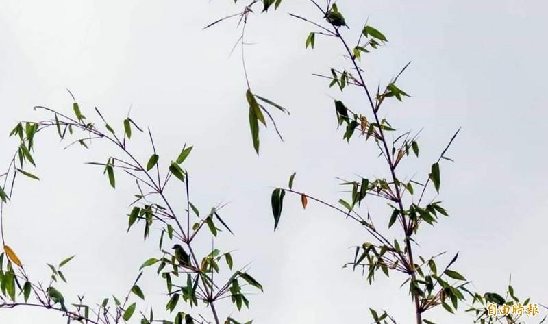 南投與彰化交界的八卦山脈,赫見4隻五色鳥在同一棵竹子求偶情形。(記者謝介裕攝)
