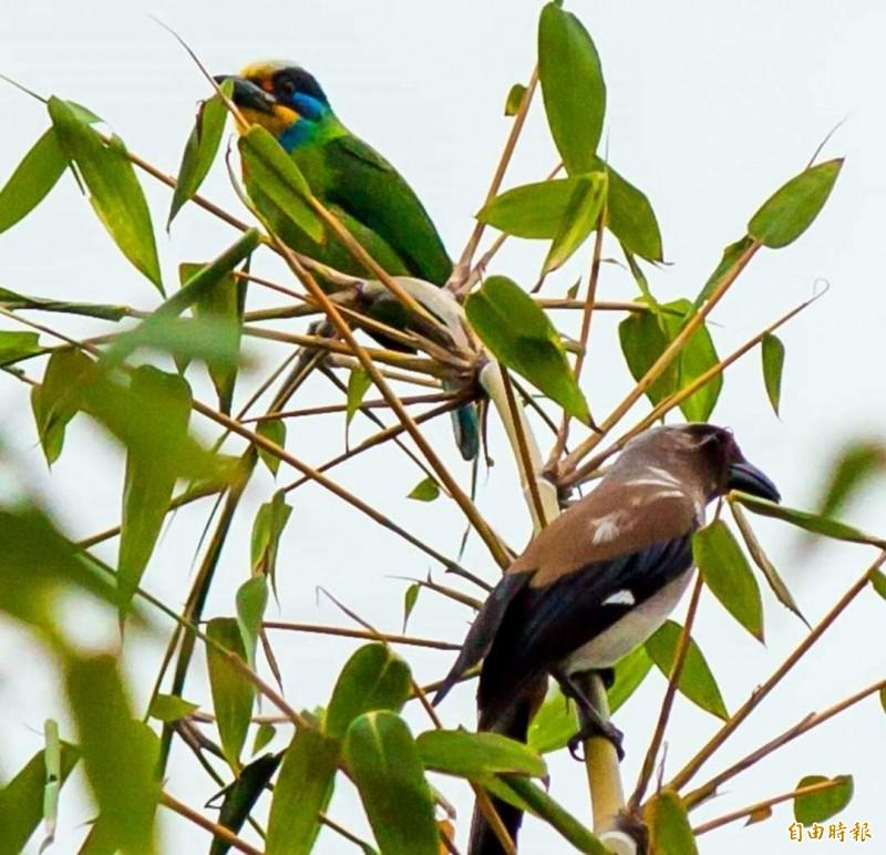 俗稱「花和尚」的雄性五色鳥,因求偶在林間互別苗頭情形。(記者謝介裕攝)