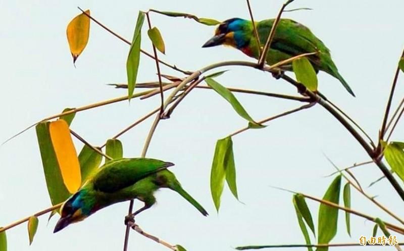 俗稱「花和尚」的雄性五色鳥,因求偶在林間互相較勁情景。(記者謝介裕攝)